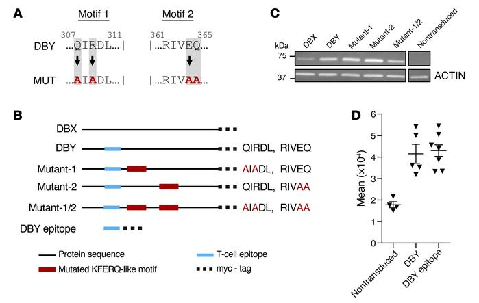 Characterization of putative KFERQ-like motifs in human DBY and retrovir...