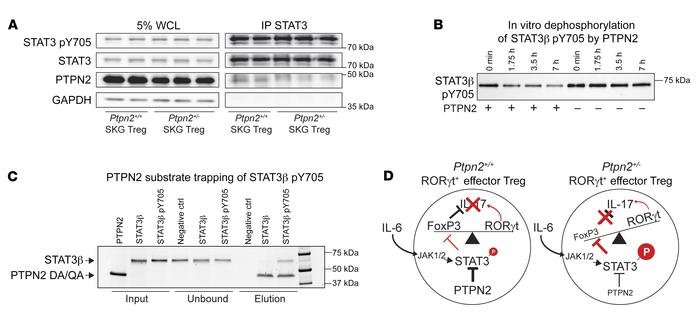 PTPN2 directly interacts with and dephosphorylates STAT3. (A) Immunoprec...