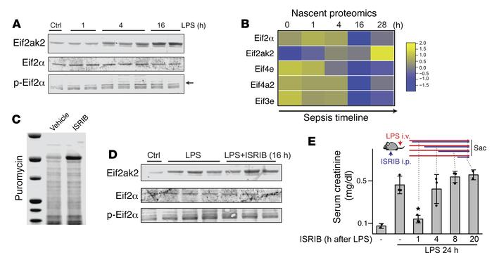 Translation shutdown mediated by the Eif2ak2/Eif2α axis contributes to s...
