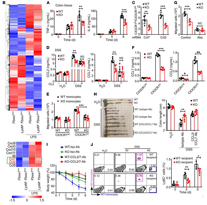 Fbxw7 deficiency downregulates CCL2 and CCL7 in resident macrophages. (...