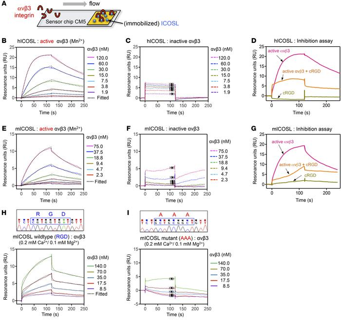 ICOSL binds to active αvβ3 integrin through its RGD motif. (A) Schematic...