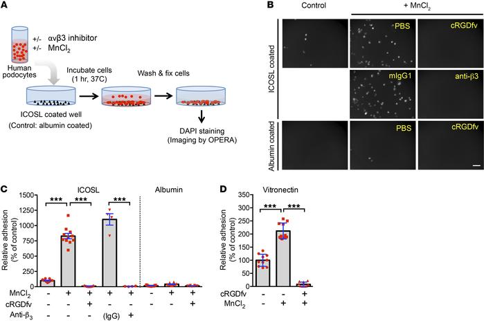 ICOSL regulates αvβ3 integrin–dependent adhesion in human podocytes. (A)...