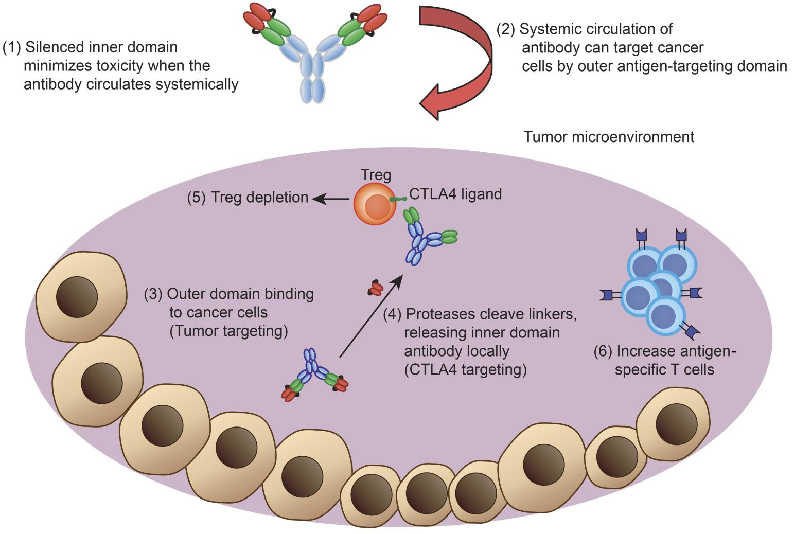 JCI - Tumor-conditional anti-CTLA4 uncouples antitumor efficacy from