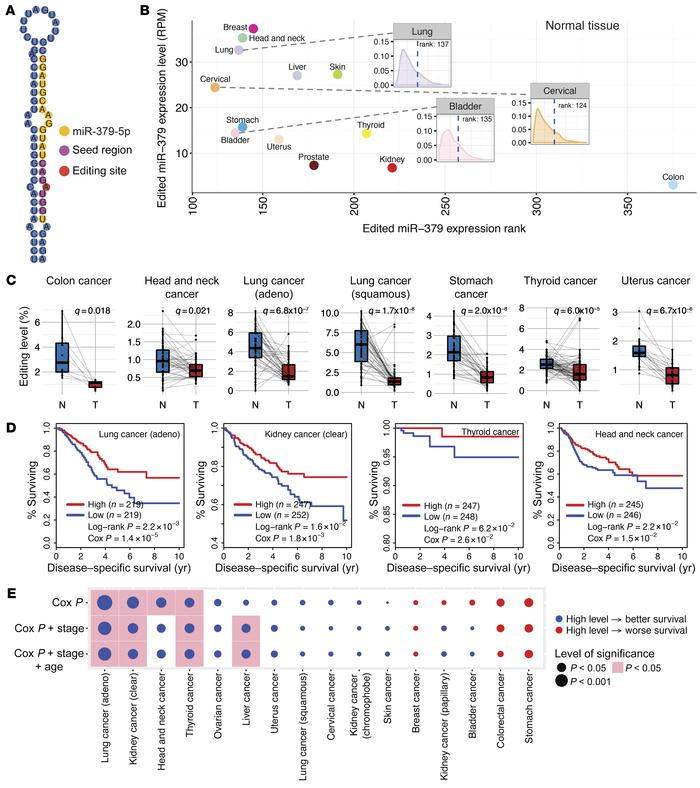 Clinically relevant patterns of miR-379-5p RNA editing in TCGA patient s...