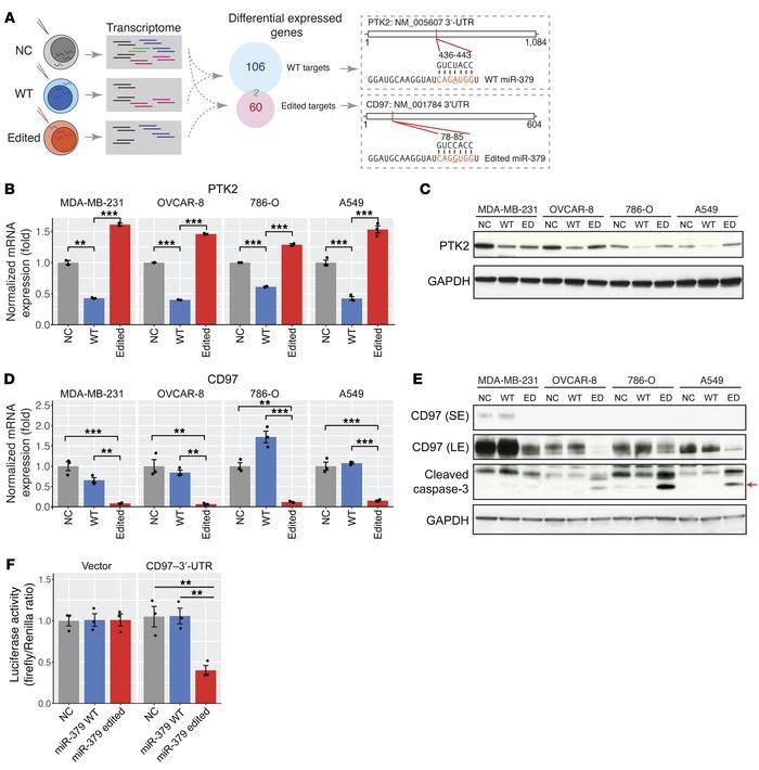 A-to-I editing in miR-379-5p redirects the target genes in cancer cells....