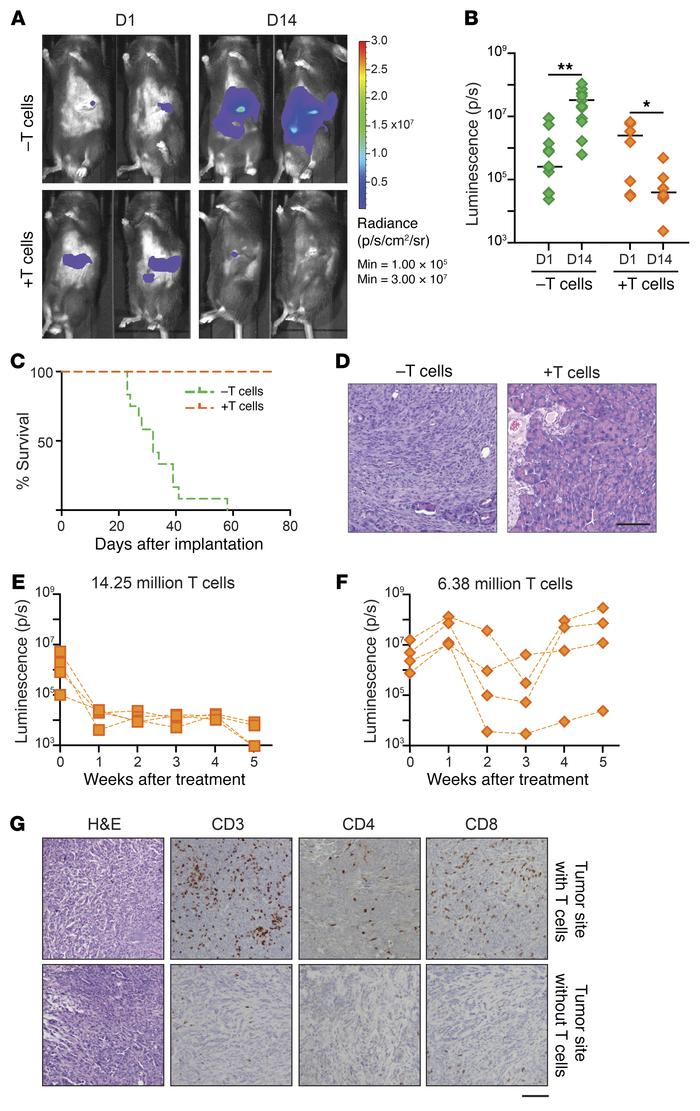 Adoptive T cell transfer protects SCID mice from implanted αKO tumors. (...
