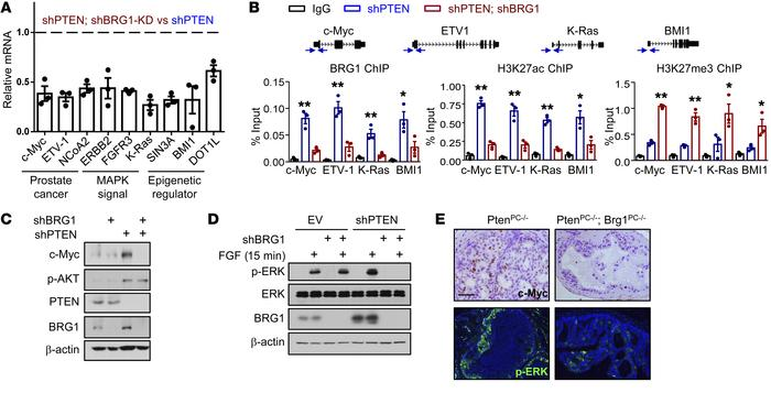 BRG1 modulates c-Myc and MAPK signaling in PTEN-deficient cells. (A) RT-...