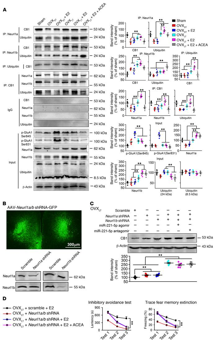 Increase of CB1 ubiquitination through Neurl1a/b-dependent pathway in OV...