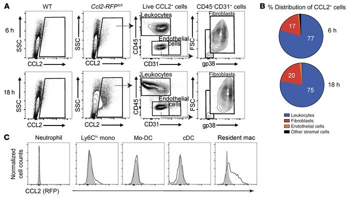 Cardiac-resident macrophages are the main source of early CCL2 productio...