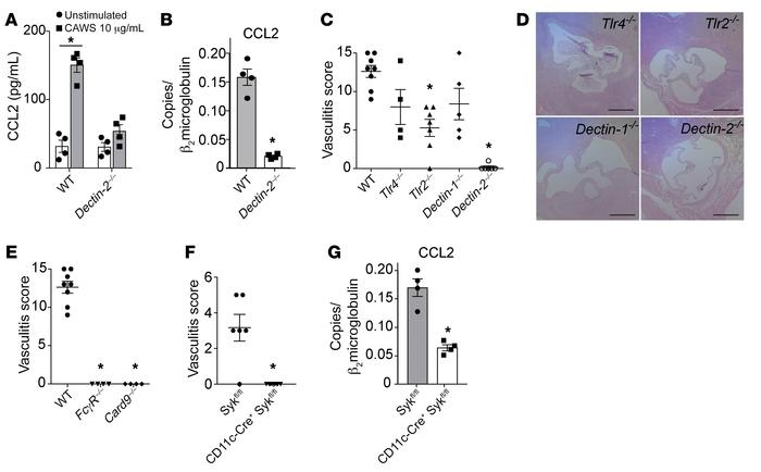 Dectin-2 is required for CAWS-induced CCL2 production and the developmen...