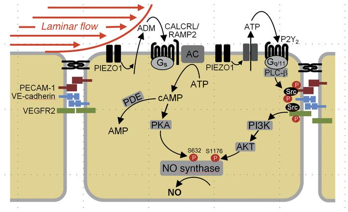 Model of the role of the adrenomedullin receptor and its downstream sign...