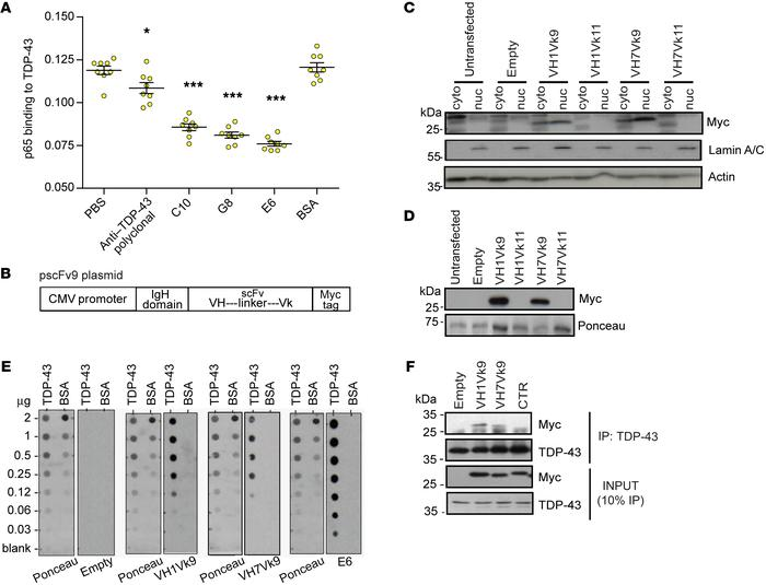 E6-derived scFv antibodies are able to recognize TDP-43. (A) Binding of ...