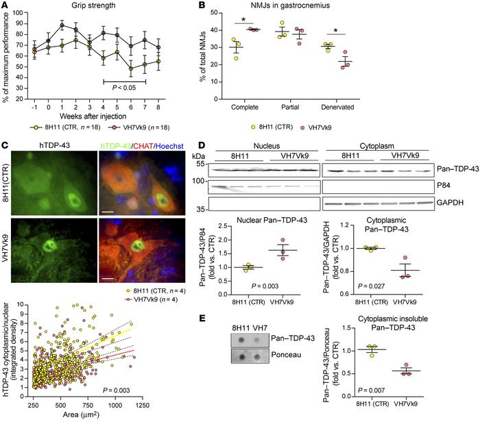 scAAV2/9-mediated delivery of scFv ameliorates motor performance and pat...