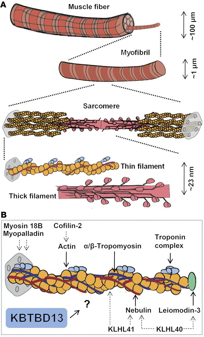 Schematic of muscle from the macroscopic to the nanoscopic level. (A) Si...