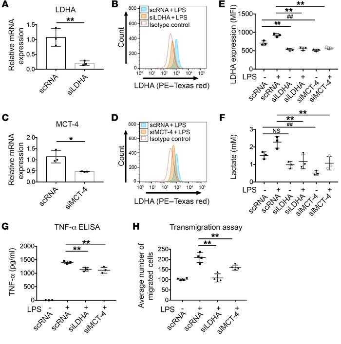 siRNA-mediated knockdown of LDHA and MCT-4 dampens inflammation in BMDMs...