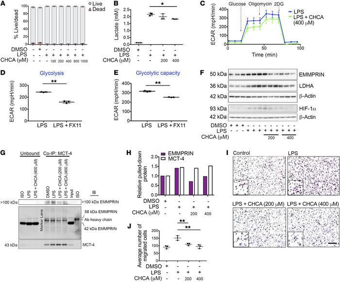 MCT-4 inhibition decreases glycolysis in BMDMs and dampens their proinfl...
