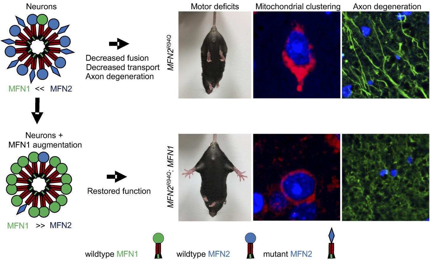 샤르코마리투드병 증상을 완화시키는 단백질, MFN1
