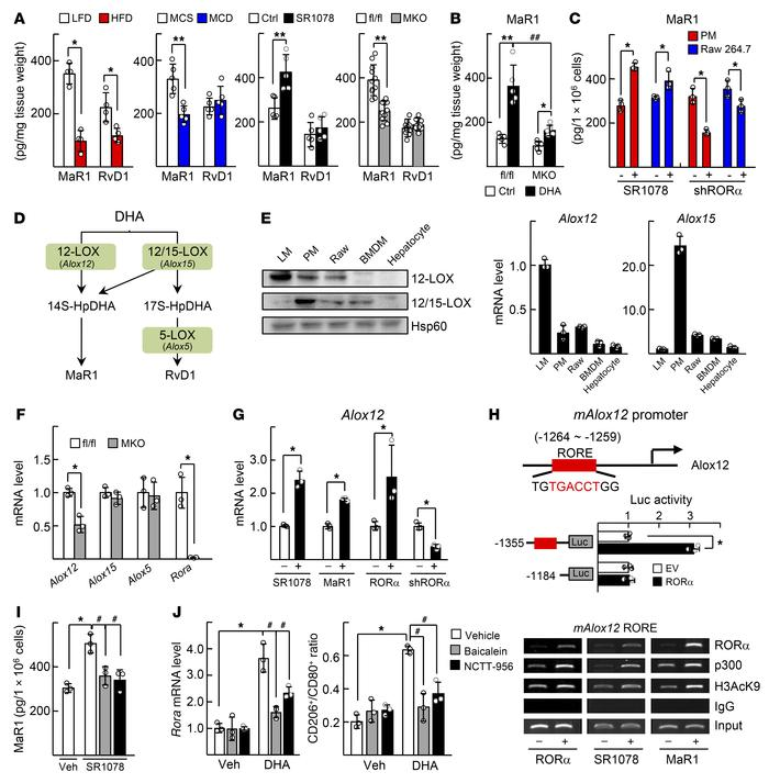 RORα activates Alox12-dependent MaR1 synthesis. (A) Seven-week-old C57BL...