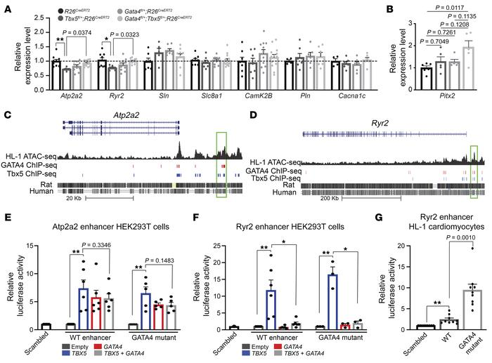 Antagonistic interactions between TBX5 and GATA4 on Atp2a2 and Ryr2 expr...