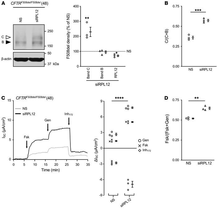 Silencing RPL12 enhances F508del-CFTR functional expression in primary H...