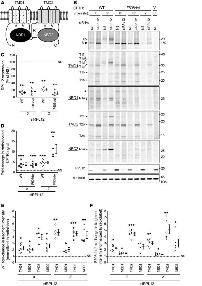 RPL12 depletion stabilizes CFTR interdomain assembly. (A) WT-CFTR with d...