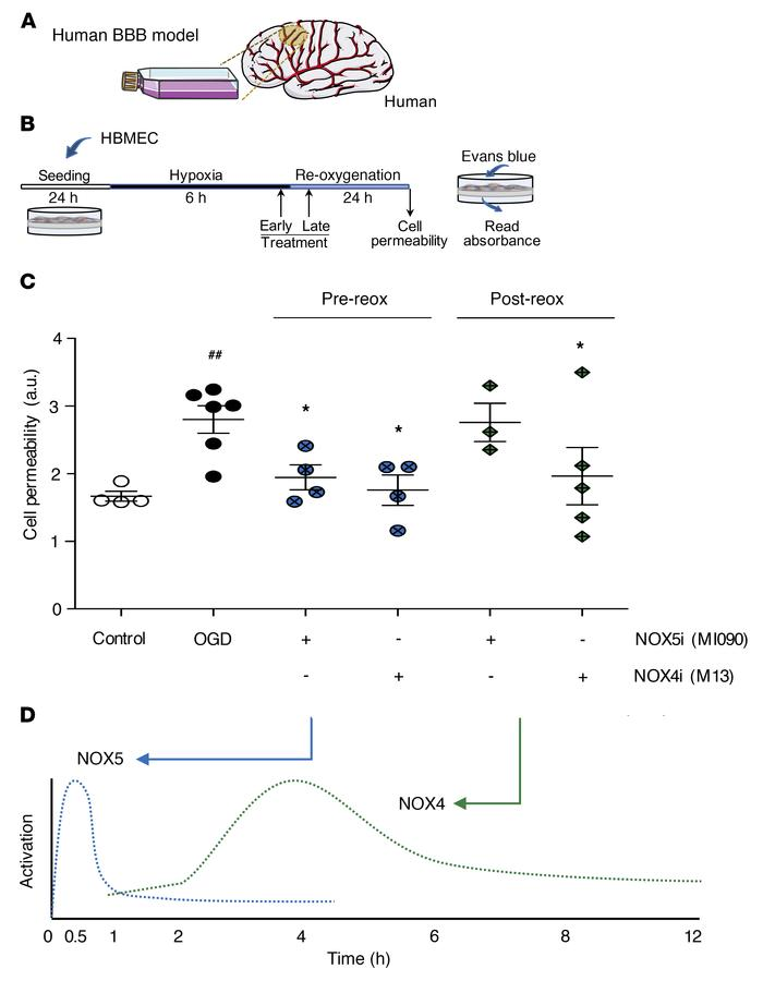 NOX5 inhibition before reoxygenation reduced cell permeability to basal ...