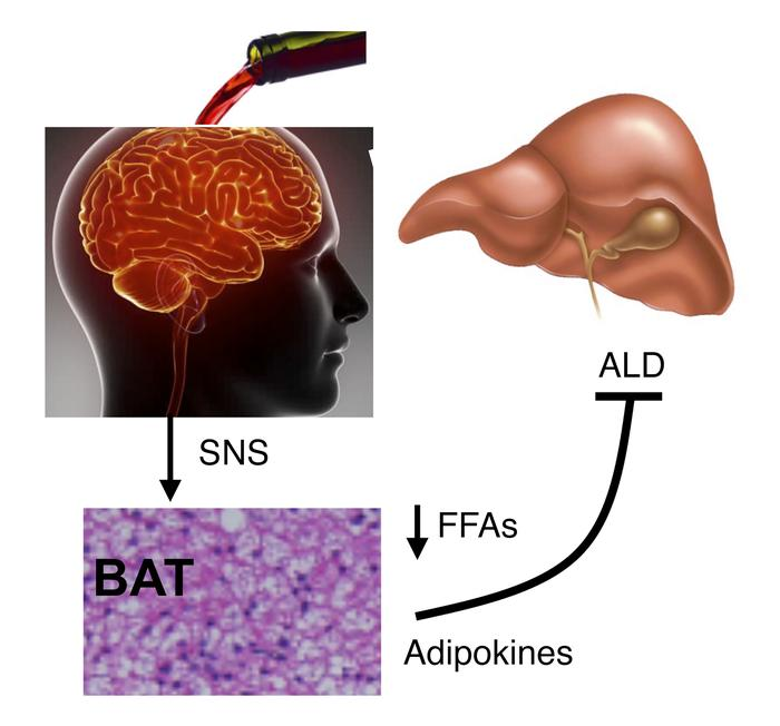 Protection against ALD by brain/SNS/BAT axis. Brain alcohol-sensing acti...