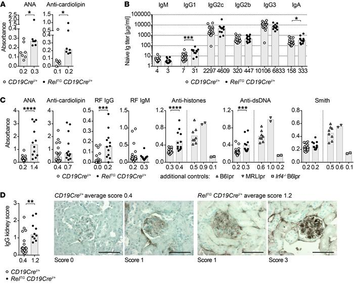 c-Rel gain induces autoimmunity in mice. (A) ANA and anti-cardiolipin au...