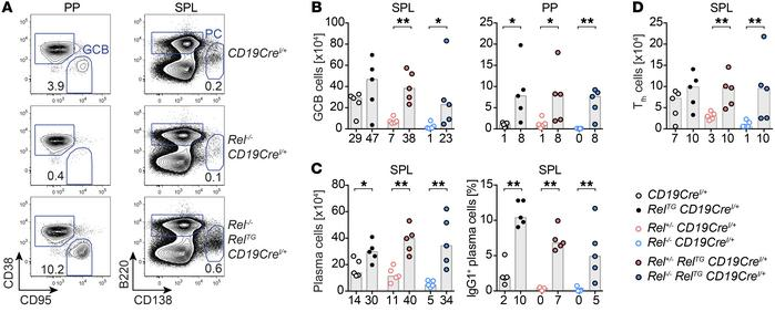 B cell–restricted c-Rel expression in c-Rel–knockout mice fully rescues ...