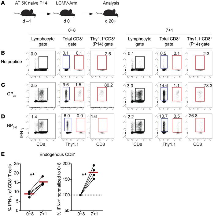 Delayed addition of BFA leads to bystander activation of CD8+ T cells. (...