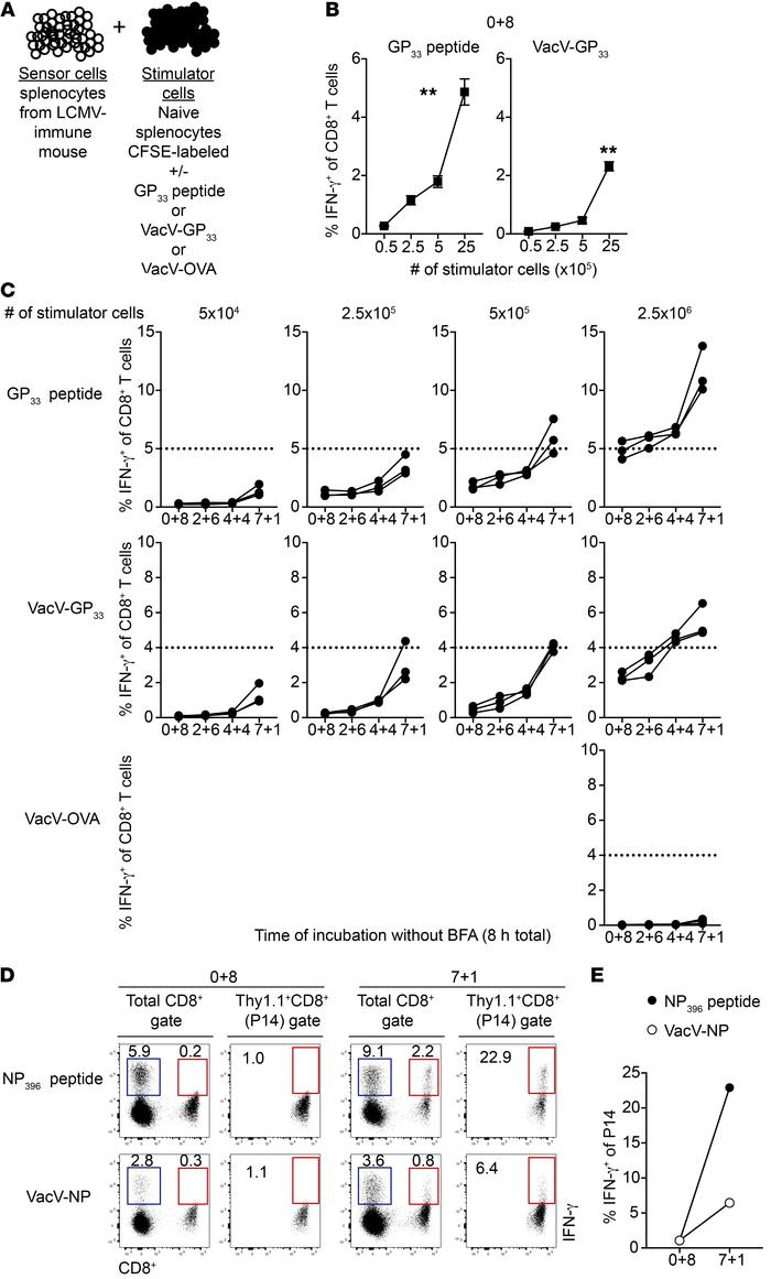 Delayed BFA addition leads to bystander activation of CD8+ T cells follo...