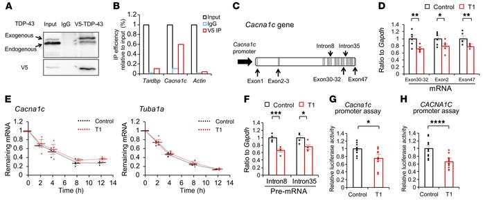 TDP-43 regulates the transcription of CaV1.2 calcium channels. (A) Immun...