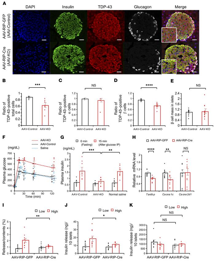 AAV vector–mediated pancreatic-specific Tardbp knockout in mice. (A) Imm...