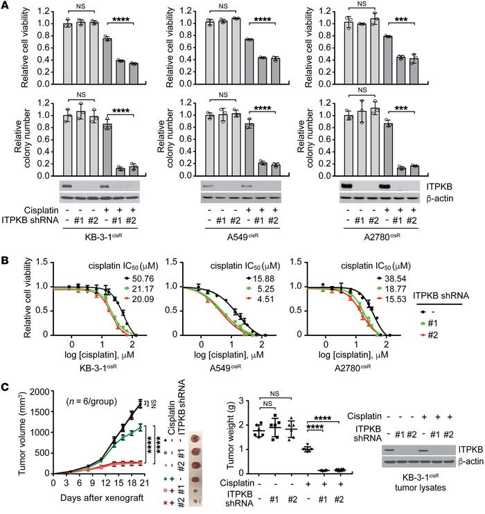 ITPKB is important for cisplatin-resistant cancer cell proliferation and...