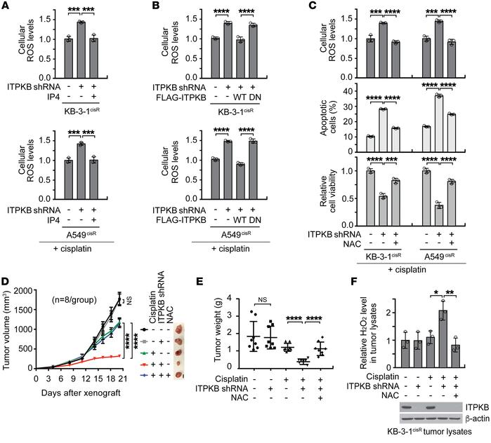 Targeting ITPKB leads to cisplatin-induced ROS accumulation and rebalanc...
