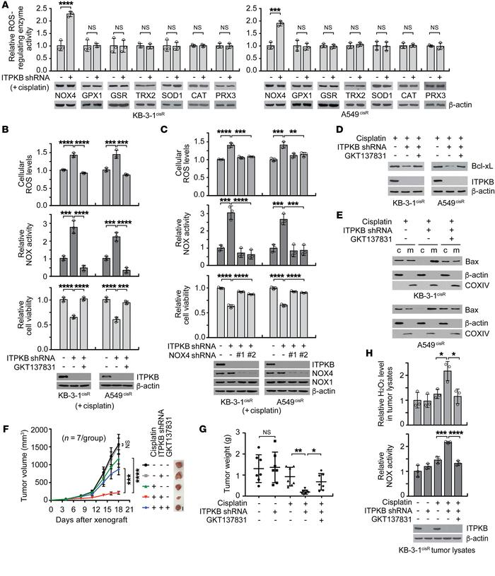 ITPKB contributes to cisplatin resistance by dampening NOX4 activity in ...