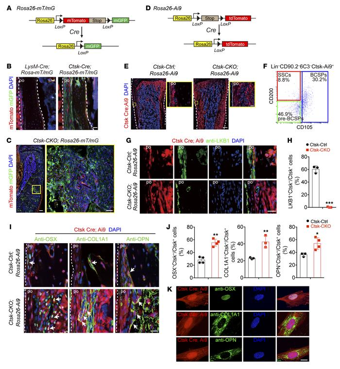 Ctsk-Cre–expressing periosteal mesenchymal stem cells are potential sou...