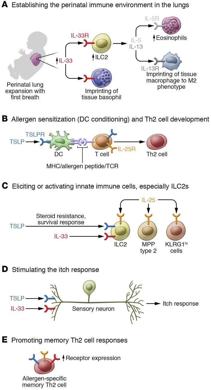 TSLP, IL-33, and IL-25 regulate a diversity of responses in type 2 immun...