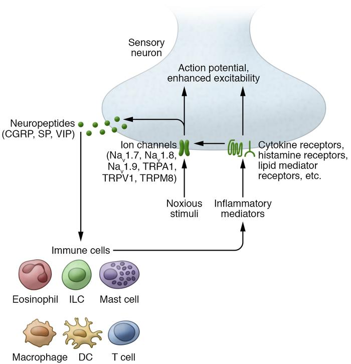 The interaction between sensory neurons and immune cells. Immune cell–de...