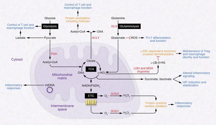 Overview of pathways involved with immunometabolism and their links to p...
