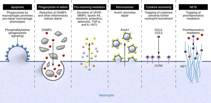 The pro-resolving/pro-repair neutrophil. Neutrophils use different strat...