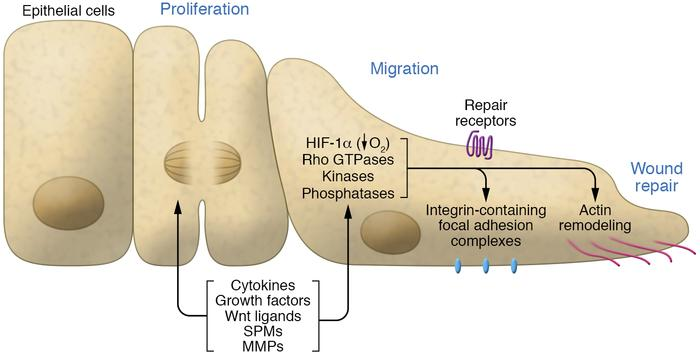 Epithelial reparative triggers and events. Cytokines, growth factors, Wn...