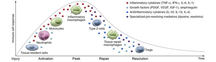 Immune cell activation during different phases upon tissue injury. Tissu...