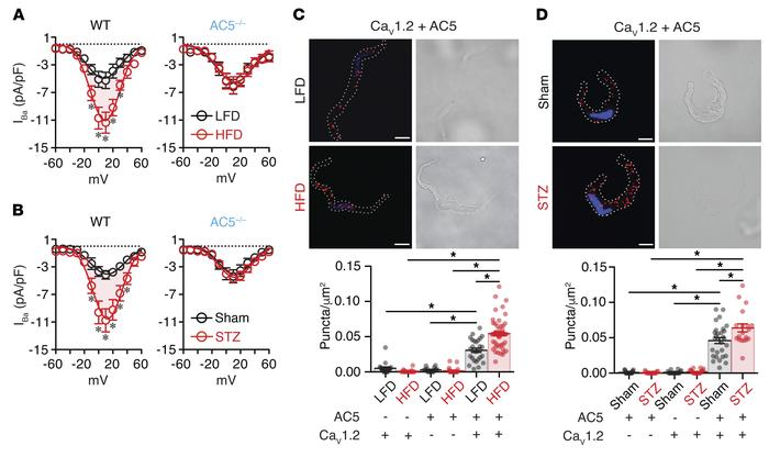 AC5 expression is critical for increased L-type Ca2+ channel activity in...
