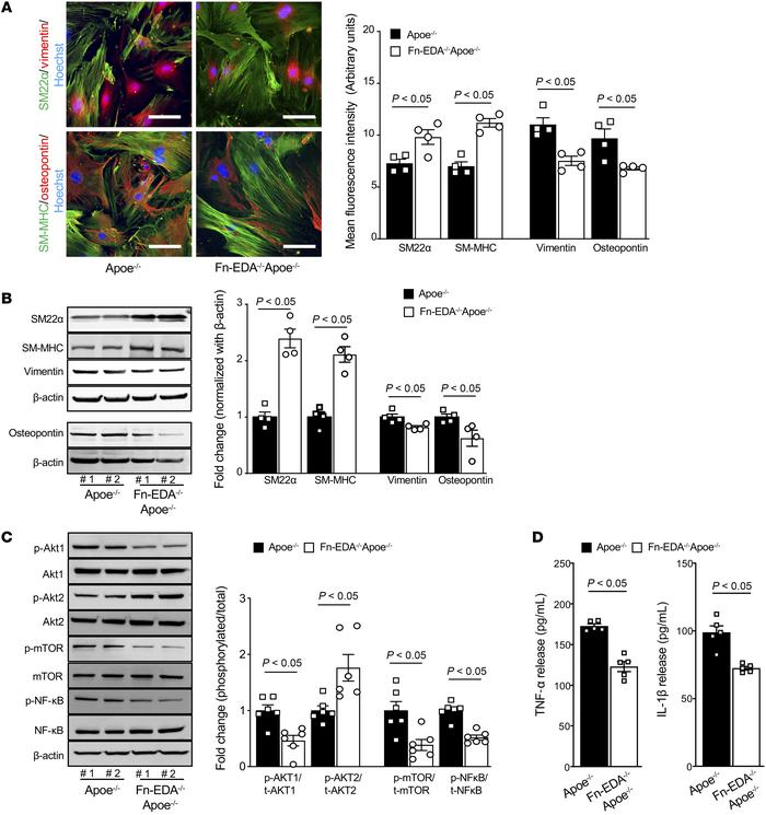 Fn-EDA deletion in Apoe–/– mice suppresses synthetic phenotype and atten...
