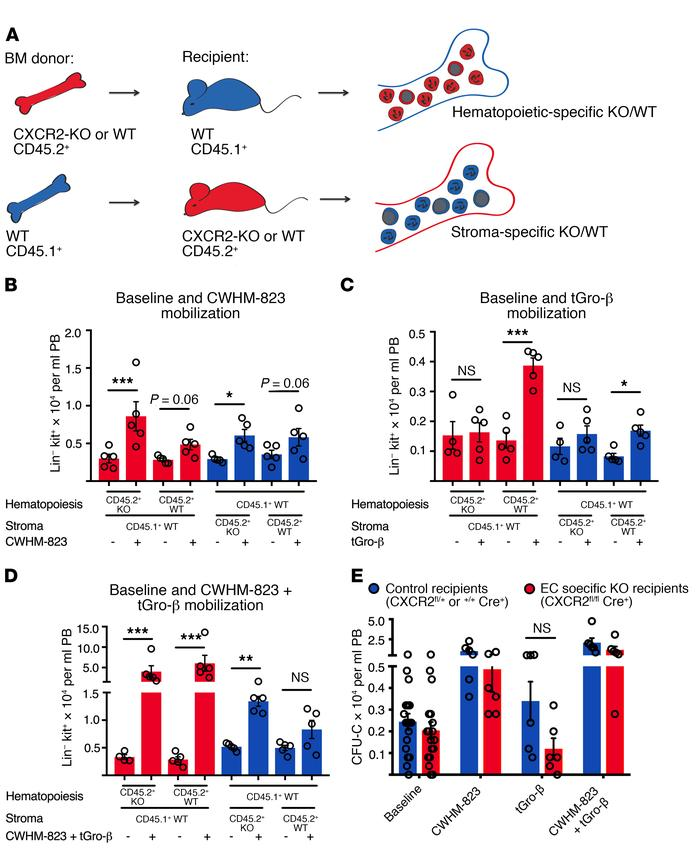 CXCR2 expression in both the hematopoietic and nonhematopoietic (stromal...