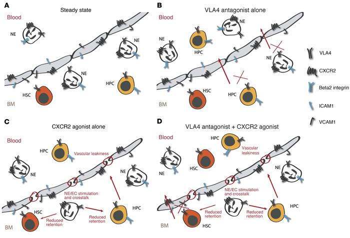 Proposed mechanisms for targeting CXCR2 and VLA4 to mobilize hematopoiet...