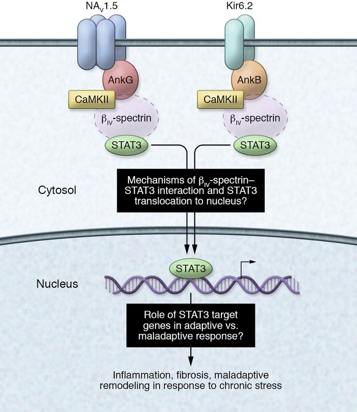 Schematic of the CaMKII/βIV-spectrin signaling axis at the cell membrane...