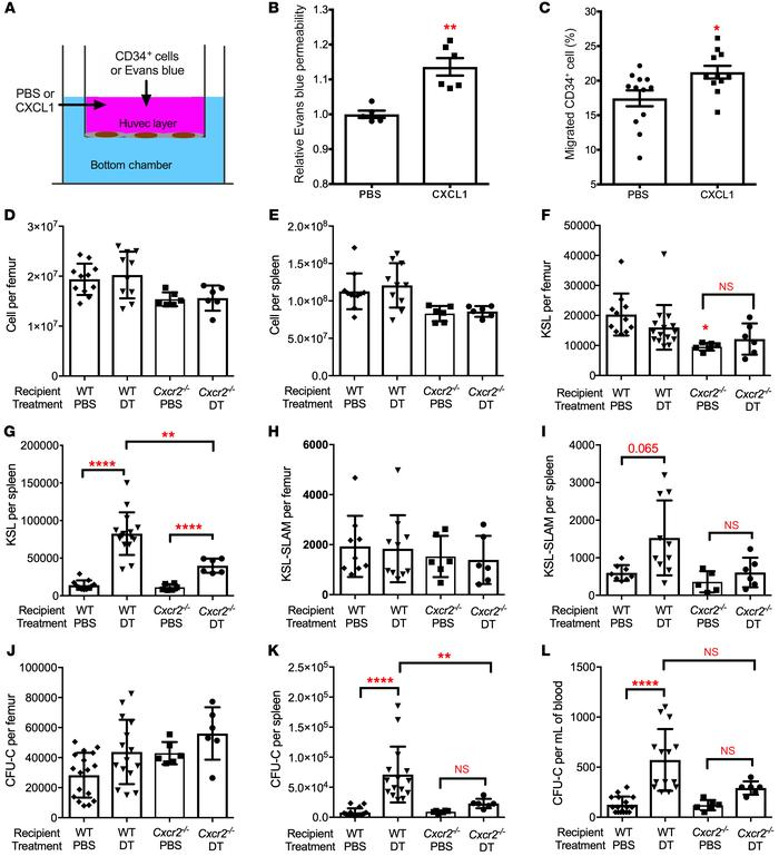 CXCR2 signaling contributes to HSPC mobilization following bone marrow D...