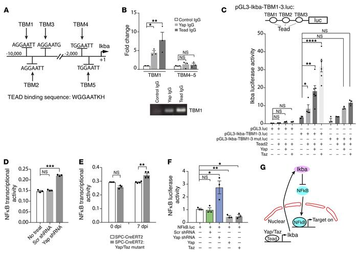 Regulation of Yap/Taz on IκBa expression and NF-κB transcriptional activ...